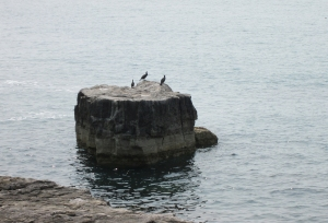 Cormorants for Blog